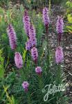 LIATRIS spicata  'Floristan Violet' Portion(s)