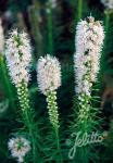 LIATRIS spicata  'Floristan White' Portion(s)