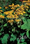 LIGULARIA dentata   Portion(s)