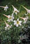 LILIUM formosanum var. pricei   Portion(en)
