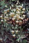 LILIUM martagon var. album   Portion(s)