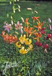 LILIUM Martagon-Hybr.  'Painted Ladies' Portion(en)