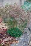 LIMONIUM bellidifolium   Portion(s)