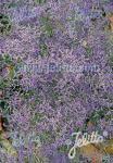 LIMONIUM latifolium   Portion(s)