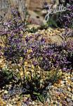 LIMONIUM species  'Blue Diamond'