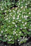 CYMBALARIA pallida  'Albiflora' Portion(s)