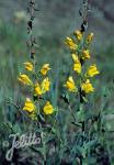 LINARIA genistifolia ssp. dalmatica   Portion(s)