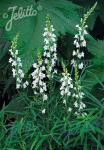 LINARIA purpurea  'Springside White' Portion(en)