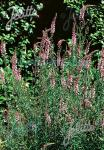 LINARIA purpurea  'Canon Went' Portion(s)