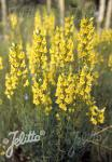 LINARIA vulgaris   Portion(en)