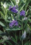 LINDELOFIA longiflora   Portion(en)