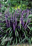 LIRIOPE muscari  'Big Blue' Portion(en)