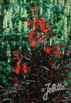 LOBELIA fulgens  'Queen Victoria' Portion(s)
