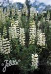 LUPINUS arboreus f. albiflorus   Portion(s)