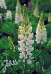 LUPINUS Perennis-Hybr. Nanus Russell Mini-Gallery-Series 'Mini-Gallery(R) White' Portion(s)