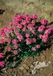 LYCHNIS alpina   Portion(en)