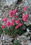 LYCHNIS viscaria  Wildform Portion(en)