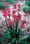 LYCHNIS viscaria splendens  'Feuer' Portion(en)