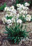LYCHNIS viscaria Alba  'Schnee' Portion(en)