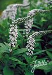 LYSIMACHIA clethroides   Portion(en)