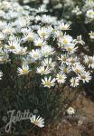 LEUCANTHEMUM graminifolium   Portion(en)