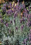 LAVANDULA angustifolia   Seeds