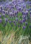 LAVANDULA angustifolia  'Hidcote Superior' Seeds