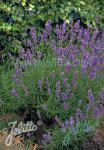 LAVANDULA angustifolia  Munstead-Strain Seeds