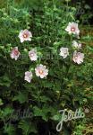 LAVATERA thuringiaca   Seeds