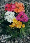 LEWISIA Cotyledon-Hybr.  'Sunset-Strain' Seeds