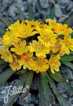 LEWISIA Longipetala-Hybr. Little-Series 'Little Mango' Seeds