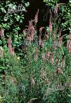 LINARIA purpurea  'Canon Went' Korn