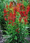 LOBELIA cardinalis   Seeds