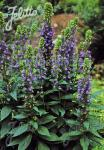 LOBELIA siphilitica  'Blue Selection' Seeds