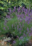 LAVANDULA angustifolia  Munstead-Strain Portion(s)