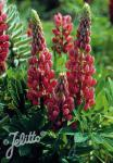 LUPINUS Perennis-Hybr. Russell Band of Nobles Series 'Mein … Portion(s)