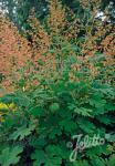 MACLEAYA microcarpa   Portion(en)
