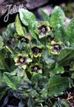 MANDRAGORA caulescens   Portion(en)