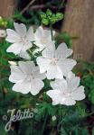 MALVA moschata f. alba   Portion(en)