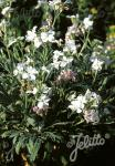 MATTHIOLA incana  'Pillow Talk' Portion(en)