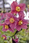 MECONOPSIS betonicifolia  'Hensol Violet' Portion(en)