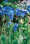 MECONOPSIS x sheldonii  'Lingholm' (Fertile Blaue Gruppe) Portion(en)