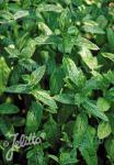 MENTHA spicata   Portion(en)