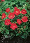 MIMULUS cupreus  'Roter Kaiser' Portion(en)
