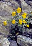 MIMULUS guttatus   Portion(en)