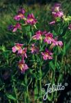 MIMULUS lewisii   Portion(en)