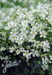 MINUARTIA verna   Portion(en)