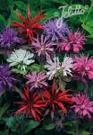 MONARDA didyma  'Panorama Mixture' Portion(s)