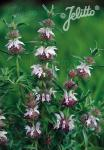 MONARDA pectinata   Portion(en)