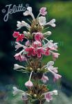 MORINA longifolia   Portion(en)